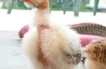 naked neck chicken