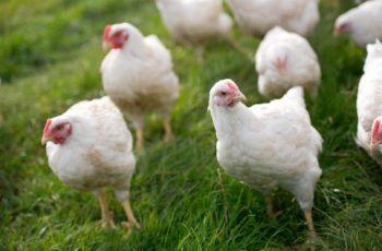 broiler chicken tips