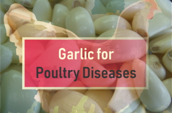 Garlic for poultry diseases