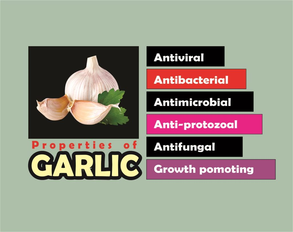 benefits of garlic in broilers