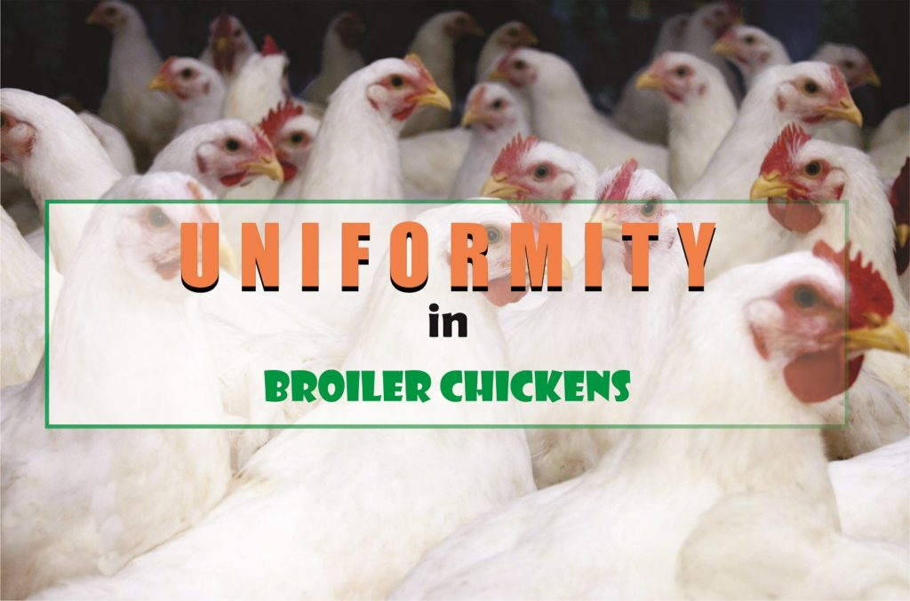 Uniformity in Broiler Chickens