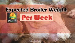 broiler weight per week
