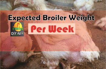 broiler weight per week