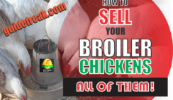 how to sell broiler chickens