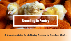 brooding in poultry