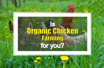 organic chicken farming