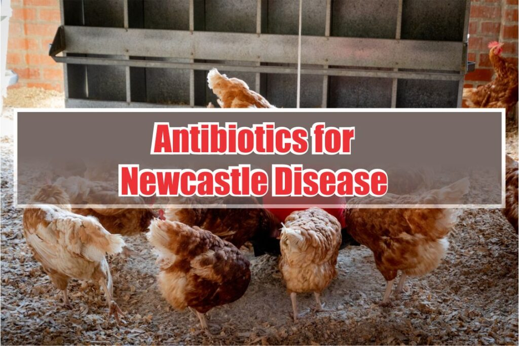 antibiotics for newcastle disease