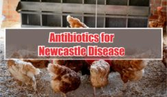 antibiotics for newcastle disease