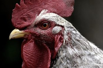 bird flu symptoms in chickens