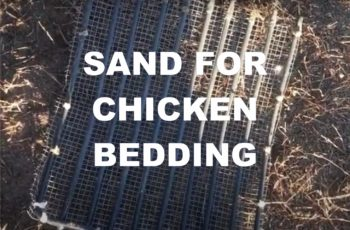 sand for chicken bedding