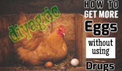 make chickens lay more eggs