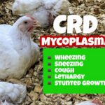 natural treatment for mycoplasma in chickens